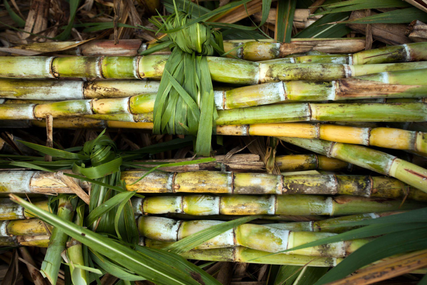 Picture of Sugar Cane bundled up and harvested.